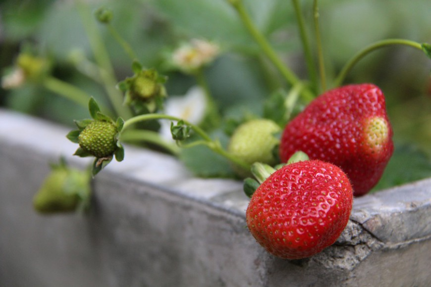 THE CHARM OF STRAWBERRIES