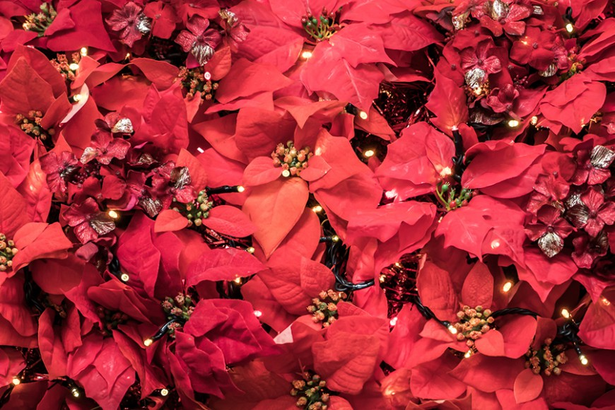 THE FIVE PLANTS OF CHRISTMAS